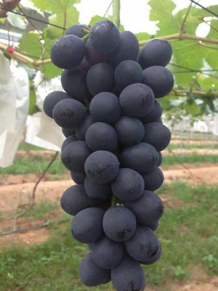 葡萄栽培管理禁忌