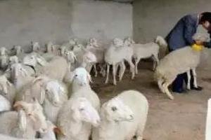 秋季养羊:驱虫,最关键!切记!