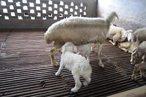 母羊催奶小妙招!再也不怕母羊奶水不足……