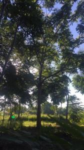 栾树23cm
